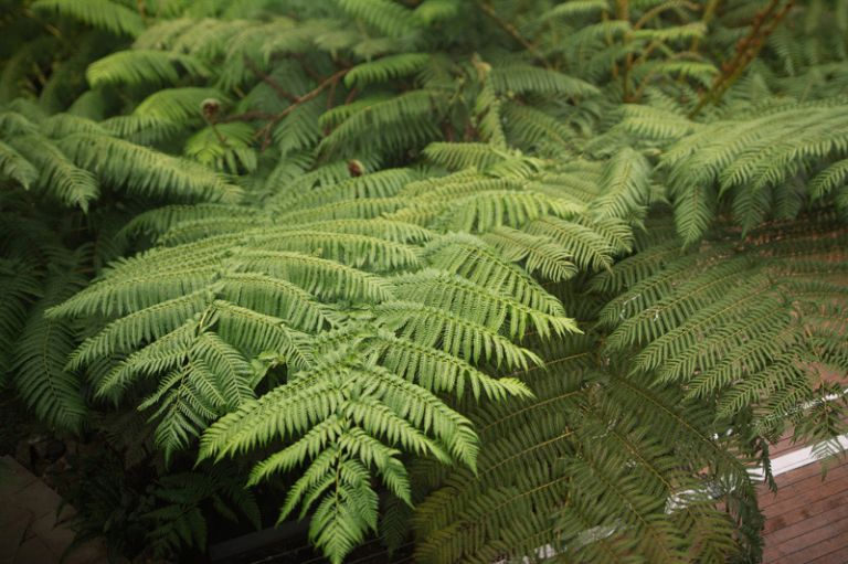 Green mystical fern at Loxely on Bellbird hill in the Blue Mountains
