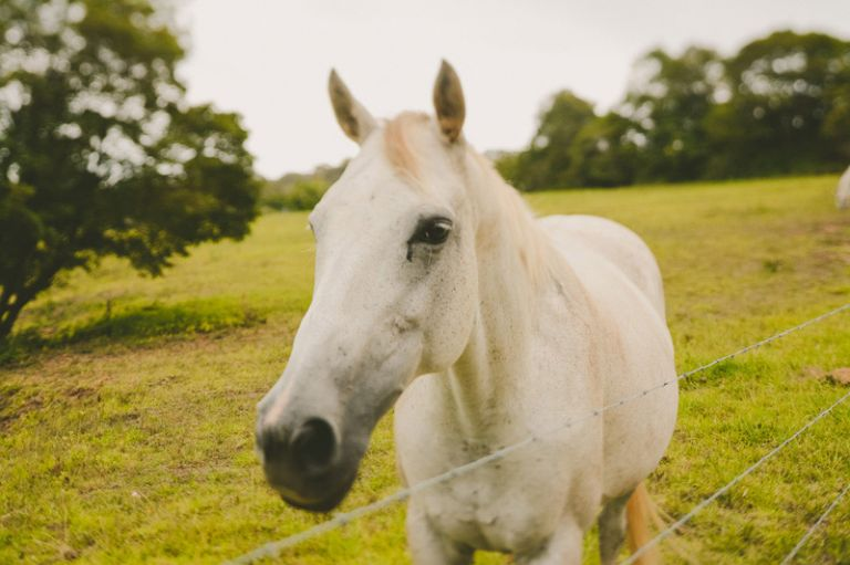 majestic white horse on a green grassy field in the blue mountains at loxley on Bellbird hill